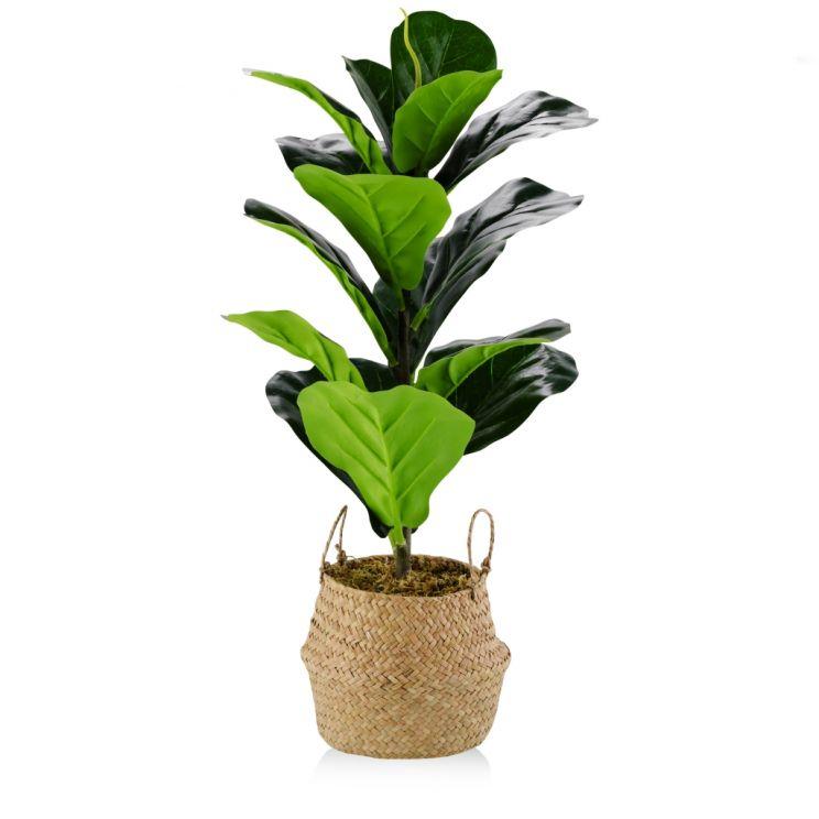 Stroik Ficus